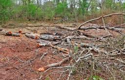 Depredan bosques en la Cordillera Central
