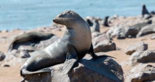 Salvan a una foca que tenía una cuerda de plástico enredada alrededor del cuello